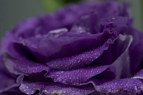 purple  flowers by nature, Beautiful flower