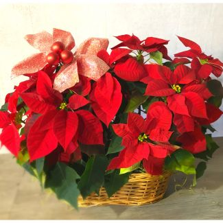 Double Holiday Poinsettia