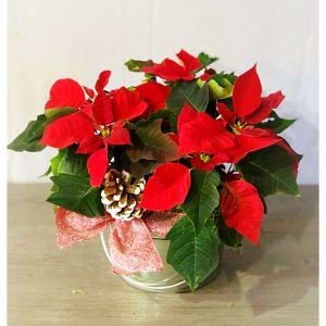 Farmhouse Poinsettia